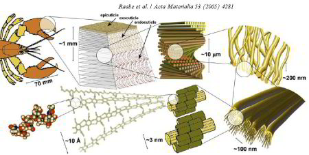 Chitin, biomaterial, exoskeleton, indentation, strength, mechanical properties, lobster, crab, insect, simulation, arthropoda