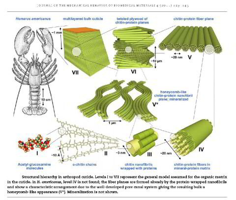 chitin, structure, composite, strength, modeling, insect, carapace, crab, lobster, shrimp, materials science, ab initio, simulation, stiffness, mechanical properties